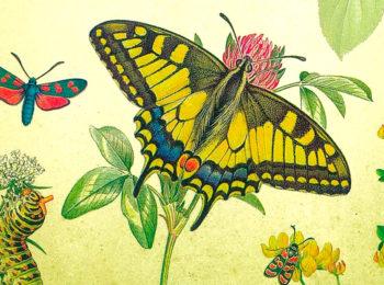 Què està passant amb les papallones?